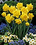 Narcissus Dick Wilden - Daffodil Dick Wilden - 5 / Narciso Dick Wilden - Narciso Dick Wilden - 5...