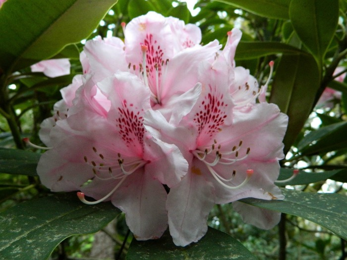 rhododendron mother of pearl