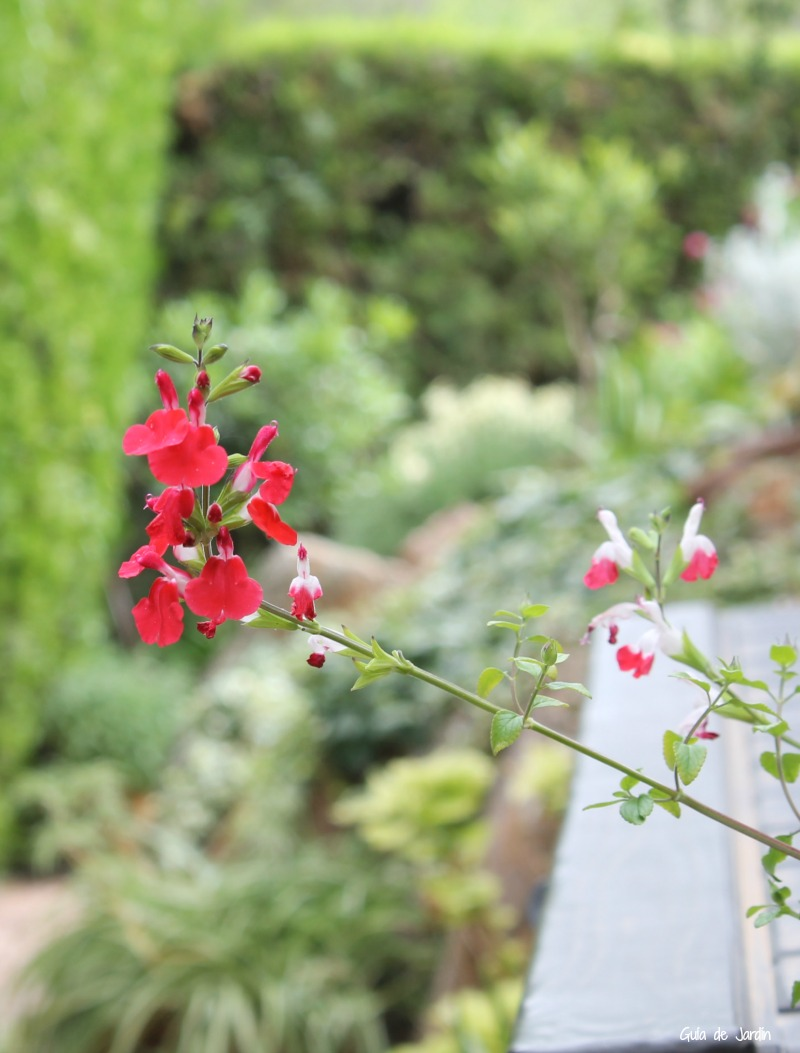 "Salvia microphylla ""Hot Lips"""